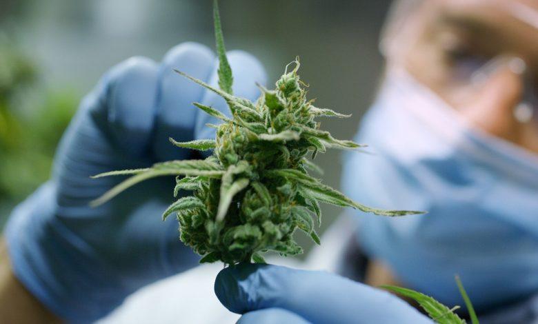 cannabis previene e contrasta il covid